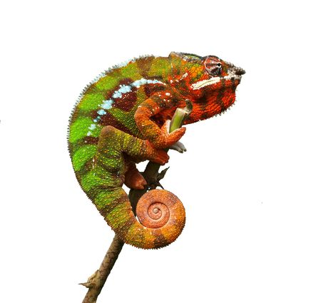 dragon vertical: Chameleon - Furcifer Pardalis