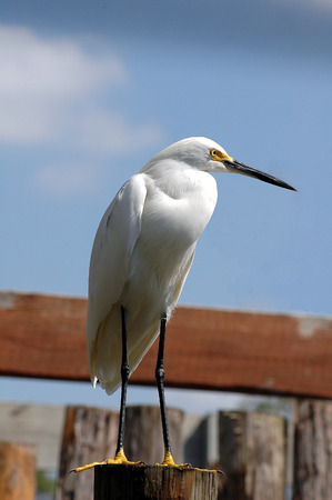 egret: Snowy Egret on post
