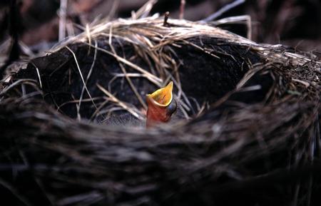 robin: Baby Robin in nest