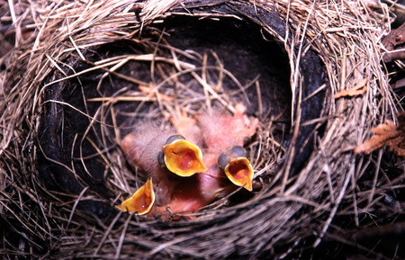 robins: Baby Robins in nest