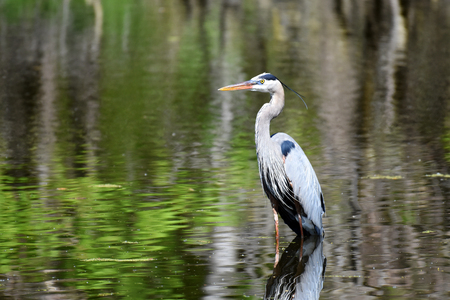 Great Blue Heron fishing Stock Photo