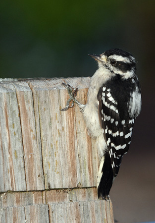 Downy Woodpecker perched on post Stock Photo