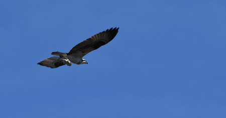 Osprey flying with fish in talons Stock Photo