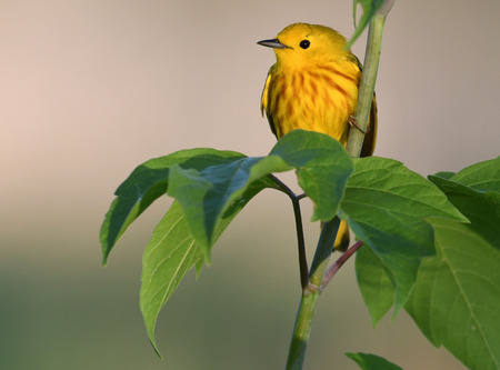 Yellow Warlber perched on branch 免版税图像