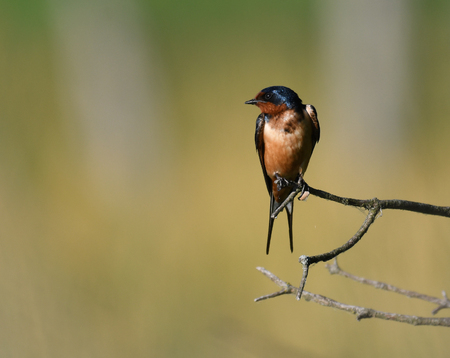 Barn Swallow perched on twig