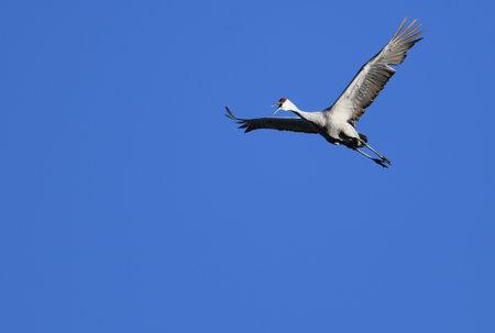Sandhill Crane flying overhead