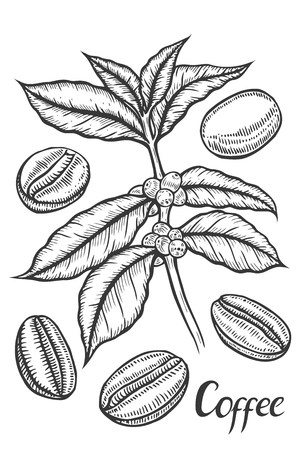 Hand Drawn Sketch Of Coffee Plant Branch With Leaf Berry Coffee
