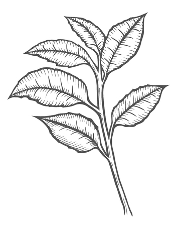 Hand drawn Tea tree botanical vector illustration. Cosmetics and medical plant. Flowers, leaves, branches drawing isolated on the white background.