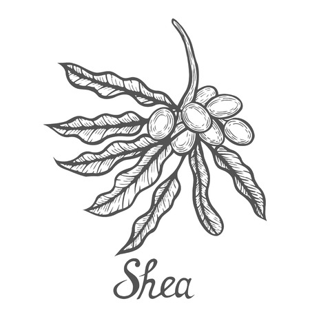 Hand drawn shea nuts plant berry fruit natural organic butter ingredient sketch engraved treatment care food