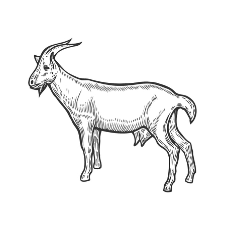 Hand drawn Goat farm animal livestock. Sketch in a graphic style. Vintage vector engraving illustration for poster, web. Isolated on white background. Ilustração