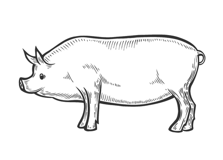 Hand drawn Pig farm animal livestock. Sketch in a graphic style. Isolated on white background. Vintage vector engraving illustration for poster, web.