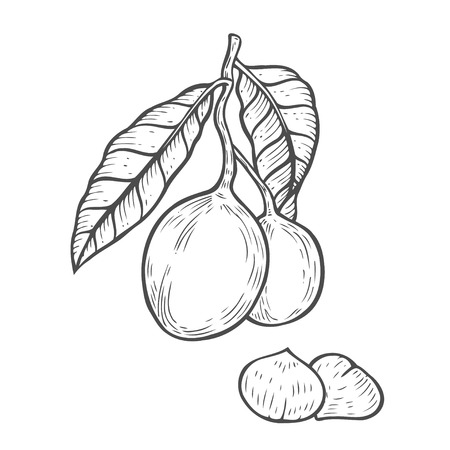 Macadamia nut Hand drawn oil, fruit, berry, leaf, branch, plant. Engraved vector sketch etch illustration. Ingredient for hair and body care cream lotion treatment, moisture. Black on white background Illustration