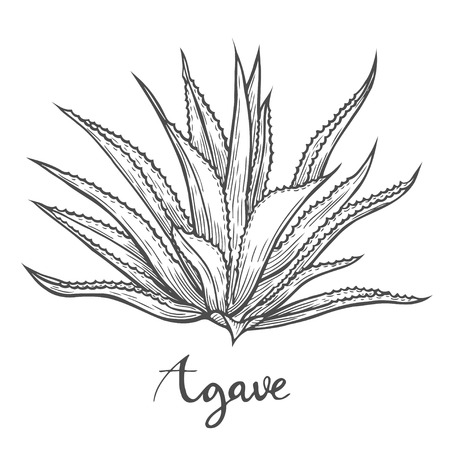 Hand drawn Cactus blue agave vector illustration