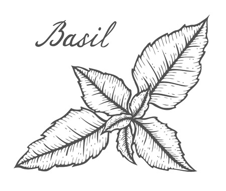 Hand drawn Basil herb leaves