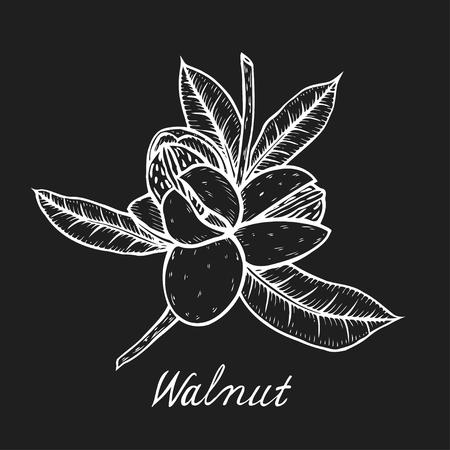 Hand drawn Walnut botanical illustration. Vintage tree sketch on white background hand drawn vector nuts. Illustration