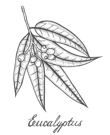 Hand drawn Eucalyptus plant, leaf, branch, berry. Engraved vector sketch etch illustration. Ingredient for hair and body care cream, lotion, treatment, moisture. Eucalyptus isolated white background