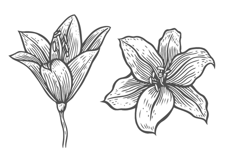 Set of hand drawn vector beautiful lily flowers in the style of black and white engraving.