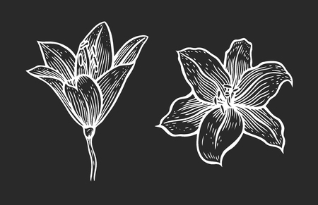 Set of Hand drawn vector beautiful lily flowers in the style of black and white engraving. Illustration