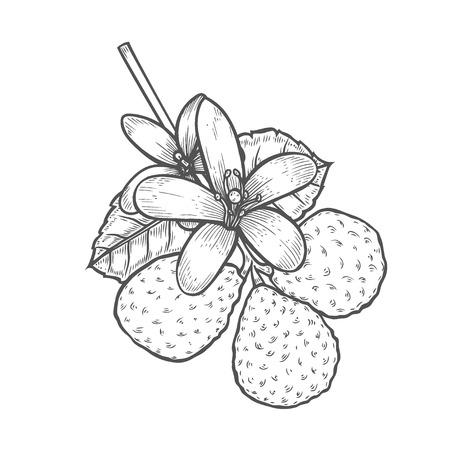 Bergamot Engraved style Kaffir Lime. Vector illustration. Isolated on white background.