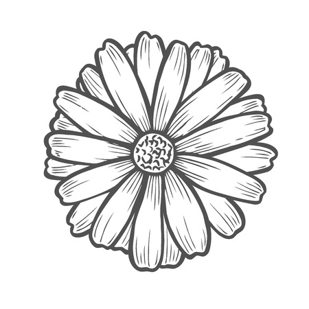 Chamomile flower floral hand drawn engraving vector illustration. Isolated on white Illustration