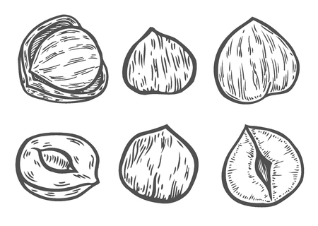 Hazelnut sketches. Single, group, peeled and whole. Engraved sketch style illustrations. Organic food. Component for sweet food and cosmetcis. Vector pictures isolated on white background. Stock Illustratie
