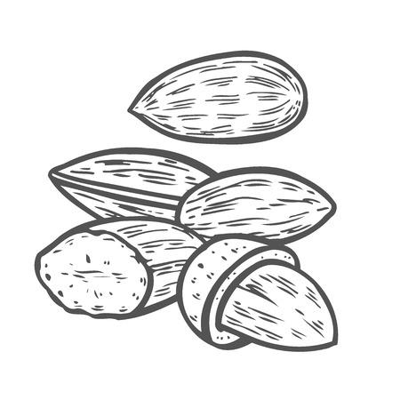 Vecteur de graines de noix d'amande. Isolé sur fond blanc. Ingrédient alimentaire au lait d'amande. Illustration d'amande dessinée à la main gravée dans un style vintage rétro. Aliments biologiques aux amandes, cosmétiques, composant de traitement. Vecteurs