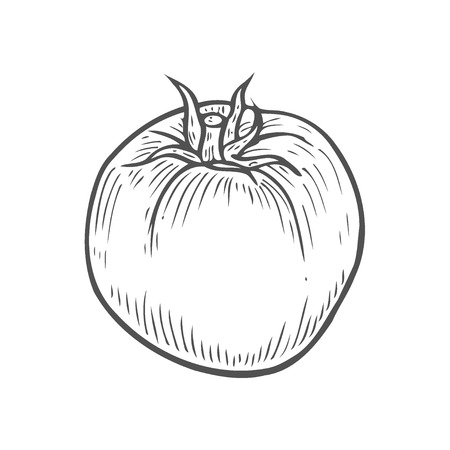 Tomato hand drawing engraving illustration. Isolated on white background