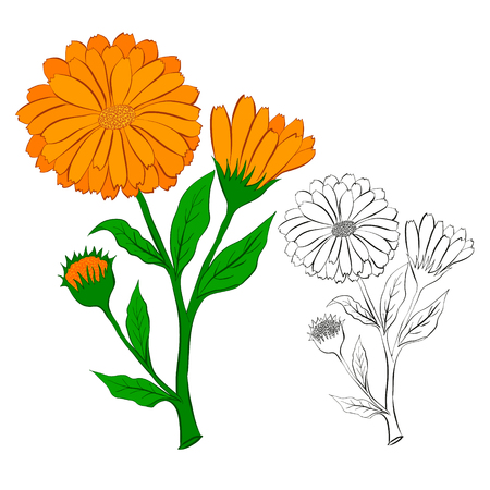 The flower of calendula. Vector illustration