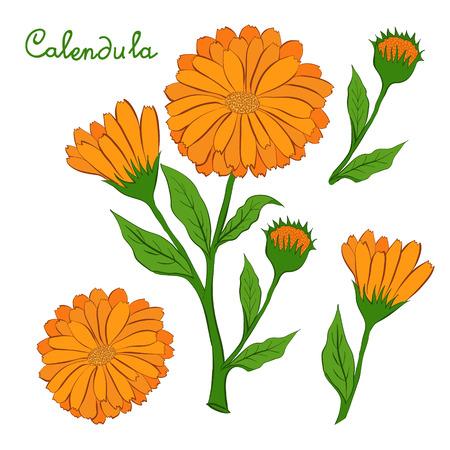 The flower of calendula. Vector illustration