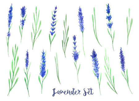 provence: Watercolor lavender flowers. Hand painted provence herbs isolated on white background. Floral clip art perfect for rustic provence DIY project
