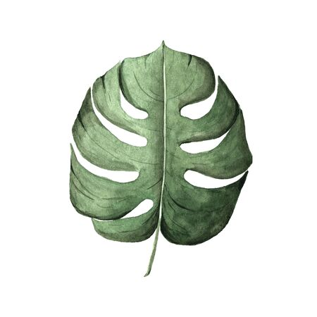 Watercolor hand painted tropical monstera leaf isolated. Green jungle foliage clip art perfect for summer wedding invitation and party card making
