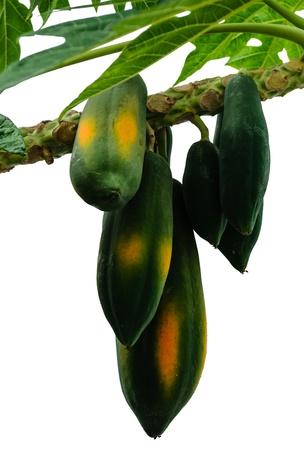 papaya tree: Papaya Fruit