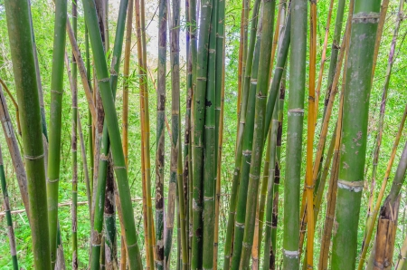 Thai Bamboo in forest photo