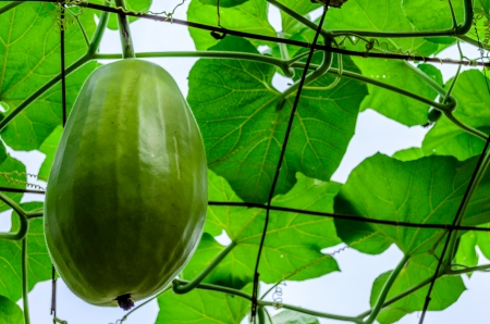 Big Wax gourd or Benincasa hispida photo