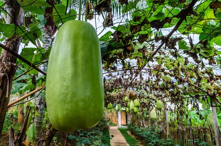Big Wax Gourd or Benincasa Hispida, Photo on January 07, 2014 photo