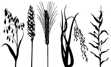 planta de maiz: cereales aislados en blanco Vectores