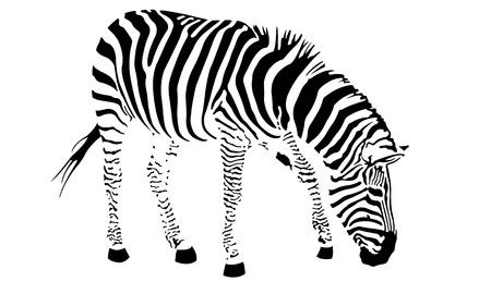 blanco negro: ilustraci�n de una cebra aislado en blanco