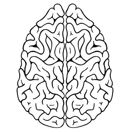 cerebra: illustration of a brain isolated Illustration