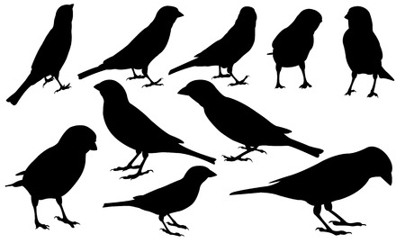 bird illustration: set of different sparrows