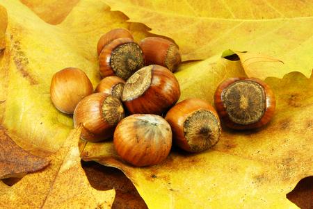 edible plant: Ripe hazelnuts on autumn leafs Stock Photo