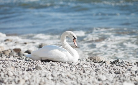 Swan on sea background.