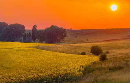 Sunset on the sunflower field. Stavropol region. Summer sunset.