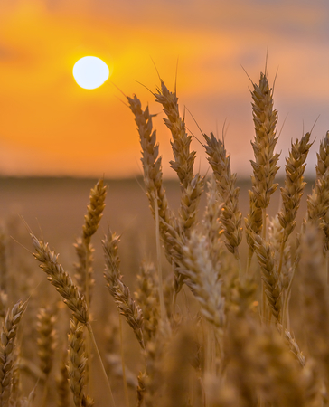 Ripe wheat. Harvest of bread. Ears. Wheat in the south of Russia. A large species of ears.