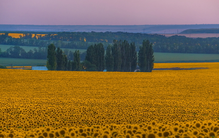Sunset on the sunflower field. Summer sunset. Yellow flowers. Agricultural landscape. Stockfoto
