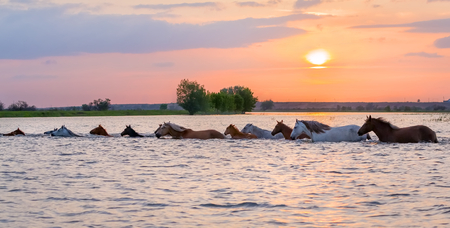 Horses swim across the river at sunset. The Volga River Delta. Spring flood on the river.