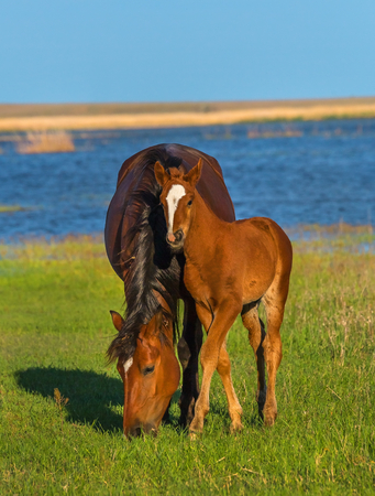 The foal with his mother. Horses graze in a meadow. On the river bank. Reklamní fotografie