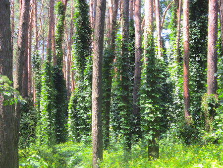 green trees entwined lianas Stock Photo