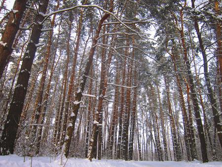 tremendous: Winter pine forest