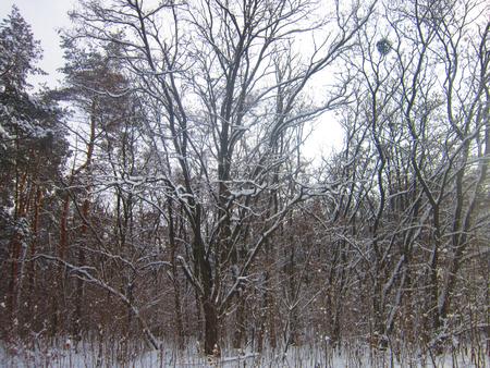 frost bound: winter forest