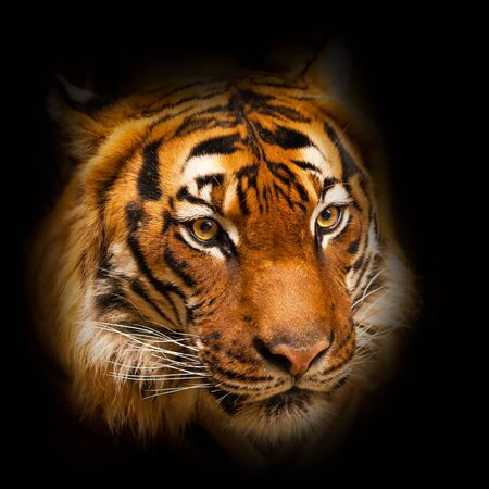 Cabeza de tigre sobre fondo oscuro Foto de archivo